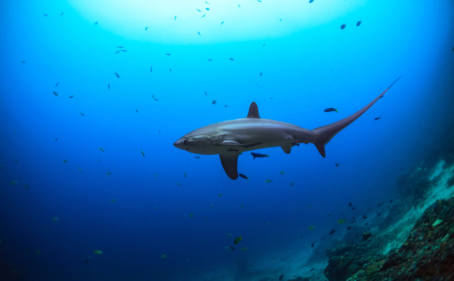 Pelagic Thresher Shark - Philippine Marine Life