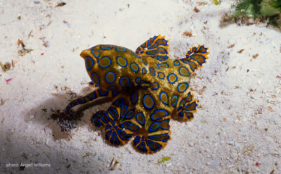 Blue-Ringed Octopus - Dangerous Marine Life in the Philippines