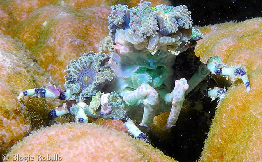 Decorator Crab - Philippine Marine Life