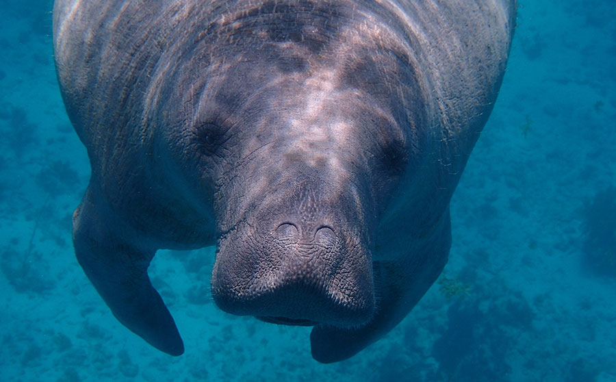 Dugong (Sea Cow) - Most Interesting Marine Life in the Philippines