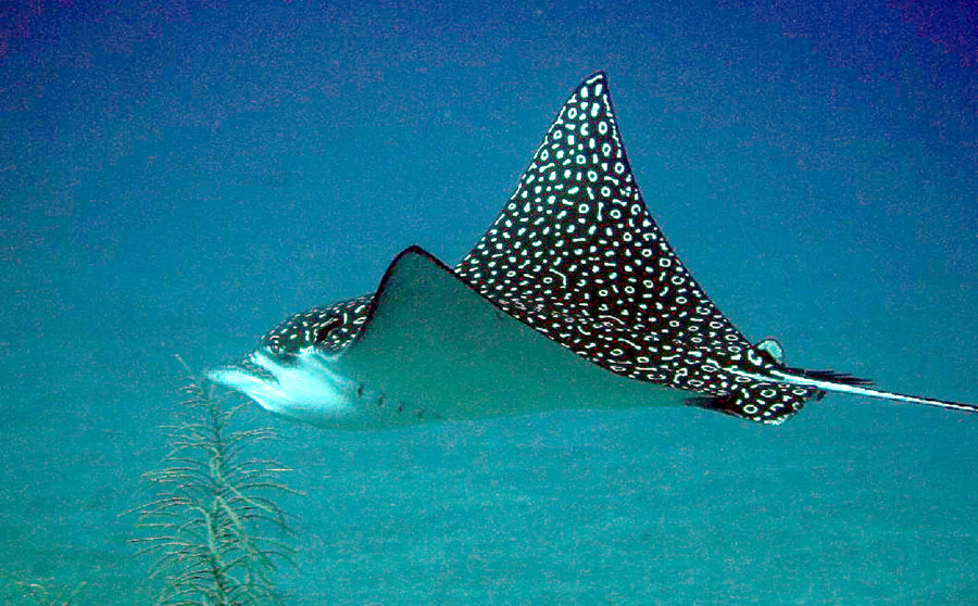 Eagle Ray - Philippine Marine Life