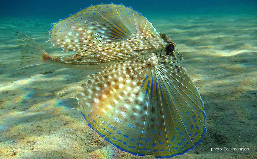 Flying Gurnard - Philippine Marine Life
