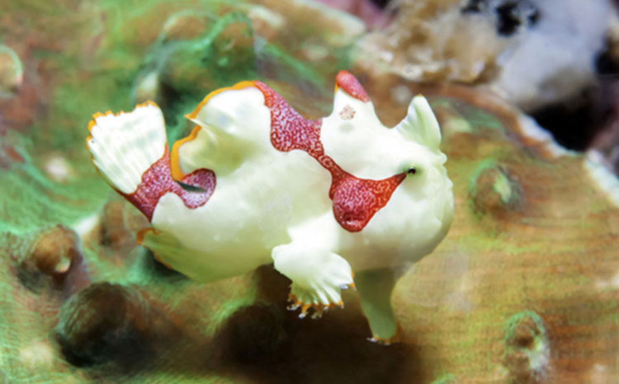 Warty Frogfish - Philippine Marine Life