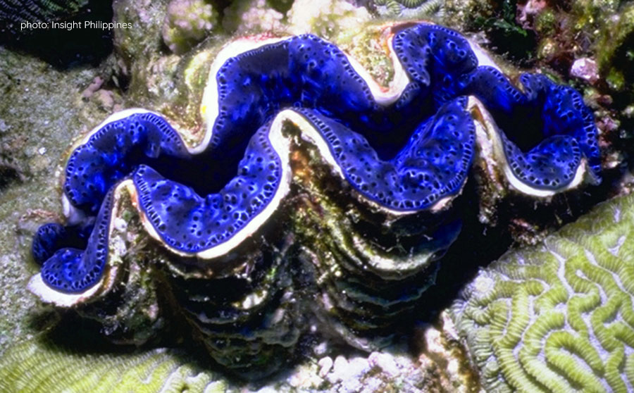 Giant Clams - Rare or Endangered Marine Life in the Philippines