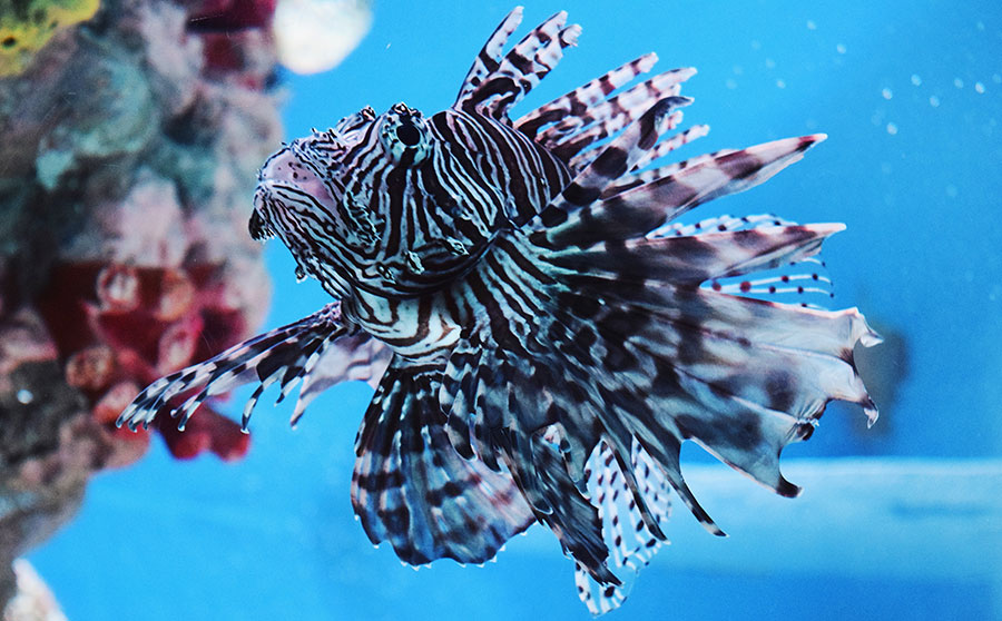 Lionfish - Dangerous Marine Life in the Philippines