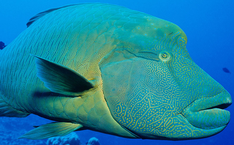Napoleon Wrasse - Most Interesting Marine Life in the Philippines