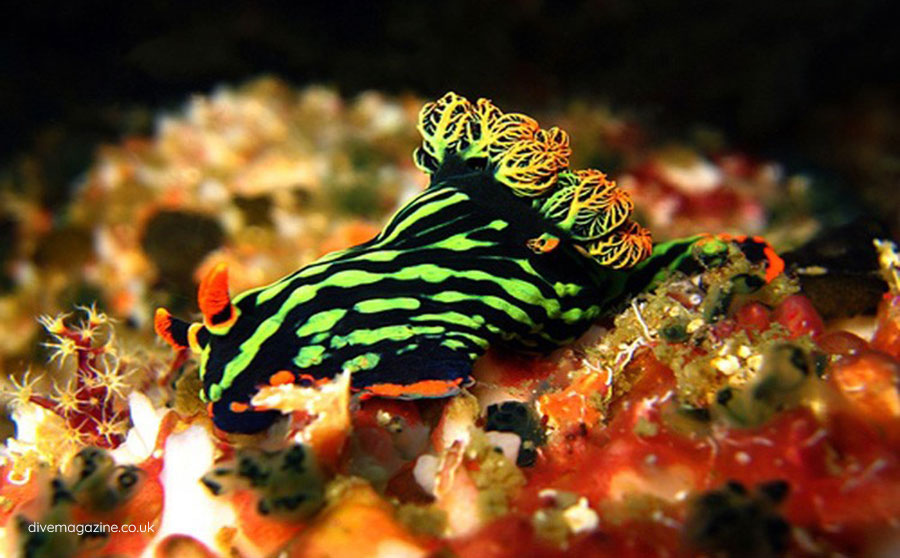 Nudibranchs - 100+ New Species of Marine Life