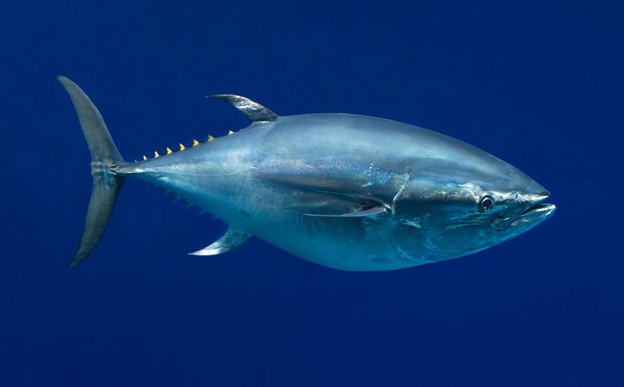 Pacific Bluefin Tuna - Most Interesting Marine Life in the Philippines