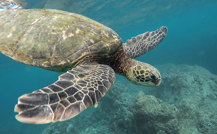Sea Turtles - Rare or Endangered Marine Life in the Philippines