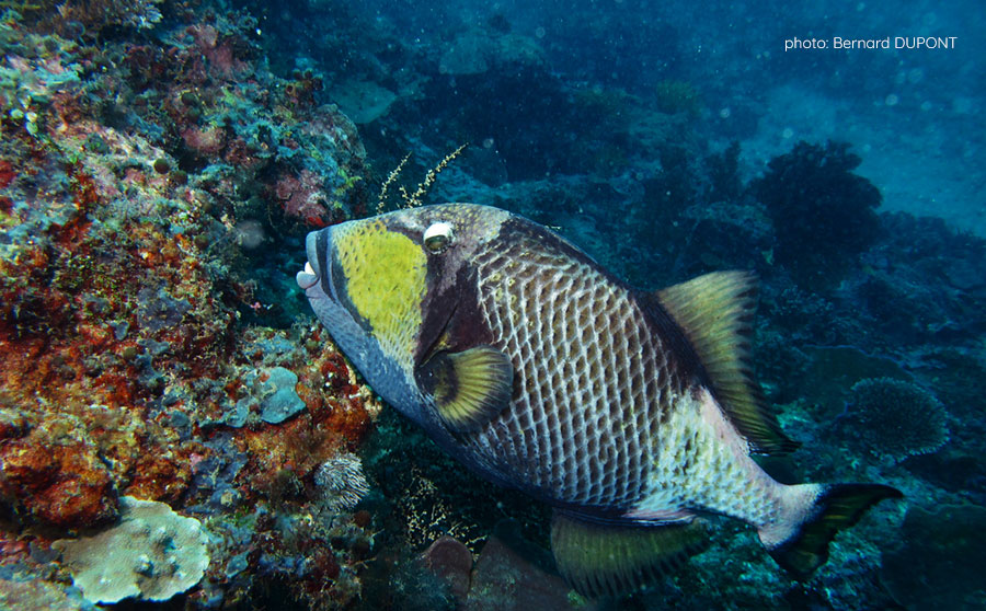 Titan Triggerfish - Dangerous Marine Life in the Philippines