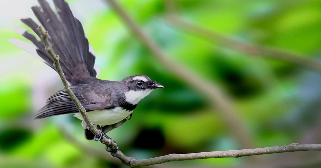 Pied Fantail